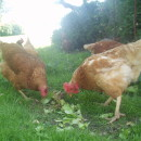 chickens on the homestead