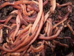 worm farming