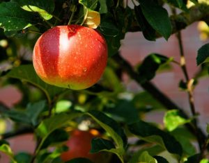 Caring for your fruit trees